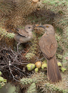 Curve-billed thrashers (Toxostoma curvirostre) parent with chick at nest in Cholla cactus (Opuntia) Sonoran desert Arizona, July  -  John Cancalosi
