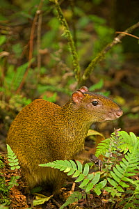 Central American agouti (Dasyprocta punctata) in undergrowth, Guanacaste National Park, Costa Rica - John Cancalosi