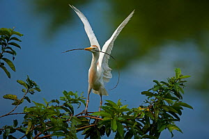 Cattle egret (Bubulcus ibis) at nest in tree with nesting material, Costa Rica - John Cancalosi