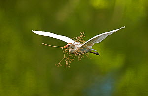 Cattle egret (Bubulcus ibis) in flight with nesting material, Costa Rica - John Cancalosi
