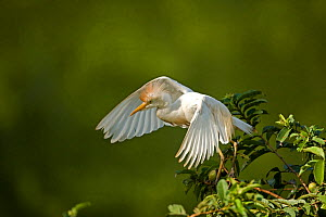 Cattle egret (Bubulcus ibis) just taking off from tree, Costa Rica - John Cancalosi