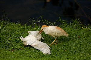 Cattle egret (Bubulcus ibis) adult (right) feeding juvenile, Costa Rica - John Cancalosi