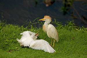 Cattle egret (Bubulcus ibis) adult (right) with chick begging to be fed, Costa Rica - John Cancalosi