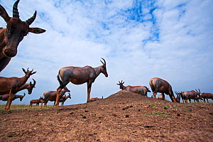 Topi (Damaliscus lunatus) small herd standing on grass plains, wide angle perspective taken with a remote camera. Maasai Mara National Reserve, Kenya. - Anup Shah