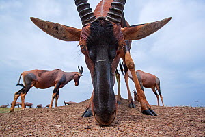 Topi (Damaliscus lunatus) small herd on plains, one looking into remote camera, wide angle perspective, Maasai Mara National Reserve, Kenya. - Anup Shah