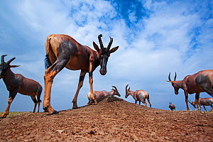 Topi (Damaliscus lunatus) small herd standing on grassy plains, wide angle perspective taken with a remote camera. Maasai Mara National Reserve, Kenya.  -  Anup Shah