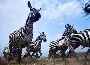Common or Plains zebra (Equus quagga burchellii) herd on the move, wide angle perspective taken with a remote camera. Maasai Mara National Reserve, Kenya.  -  Anup Shah
