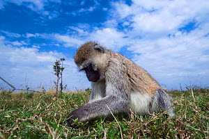Grivet monkey (Chlorocebus aethiops) female foraging, wide angle perspective taken with a remote camera. Maasai Mara National Reserve, Kenya. - Anup Shah
