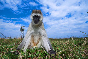 Grivet monkey (Chlorocebus aethiops) male sitting portrait, wide angle perspective taken with a remote camera. Maasai Mara National Reserve, Kenya. - Anup Shah
