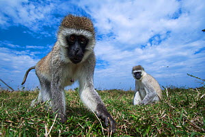 Grivet monkey (Chlorocebus aethiops) female approaching remote camera with curiosity, wide angle perspective. Maasai Mara National Reserve, Kenya. - Anup Shah