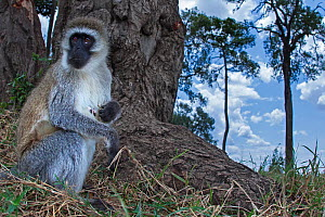 Grivet monkey (Chlorocebus aethiops) female foraging by tree root, wide angle perspective taken with a remote camera. Maasai Mara National Reserve, Kenya. - Anup Shah