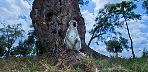 Grivet monkey (Chlorocebus aethiops) female sitting on a tree root, wide angle perspective taken with a remote camera. Maasai Mara National Reserve, Kenya. - Anup Shah