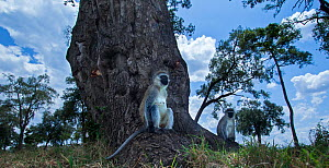 Grivet monkey (Chlorocebus aethiops) females sitting on a tree root, wide angle perspective taken with a remote camera. Maasai Mara National Reserve, Kenya. - Anup Shah