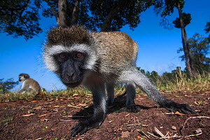 Grivet monkey (Chlorocebus aethiops) approaching emote camera with curiosity, wide angle perspective. Maasai Mara National Reserve, Kenya. - Anup Shah