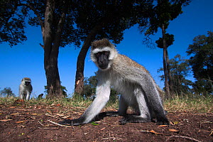Grivet monkey (Chlorocebus aethiops) male approaching remote camera with curiosity, wide angle perspective. Maasai Mara National Reserve, Kenya. - Anup Shah