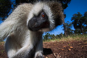 Grivet monkey (Chlorocebus aethiops) male looking into remote camera with curiosity, wide angle perspective. Maasai Mara National Reserve, Kenya. - Anup Shah