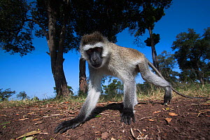 Grivet monkey (Chlorocebus aethiops) male portrait from remote camera, wide angle perspective. Maasai Mara National Reserve, Kenya - Anup Shah