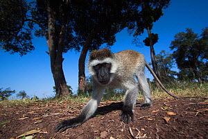 Grivet monkey (Chlorocebus aethiops) male portrait from remote camera, wide angle perspective. Maasai Mara National Reserve, Kenya. - Anup Shah