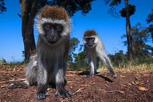 Grivet monkey (Chlorocebus aethiops) juveniles approaching remote camera with curiosity, wide angle perspective. Maasai Mara National Reserve, Kenya. - Anup Shah