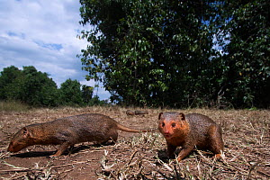 Dwarf mongooses (Helogale parvula) approaching with remote camera with curiosity, wide angle perspective Maasai Mara National Reserve, Kenya.  -  Anup Shah
