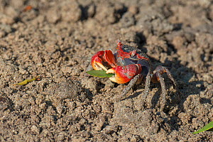 Marsh crab (Neosarmatium meinerti) collectiing mangrove tree leaves and carrying to its hole, Morombe, Madagascar  -  Bernard Castelein