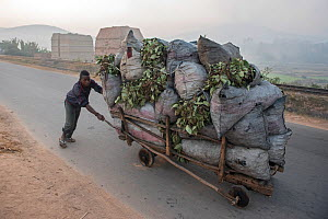 Transport of charcoal near so called  brick ovens near Fianarantsoa, Madagascar, October 2015  -  Bernard Castelein