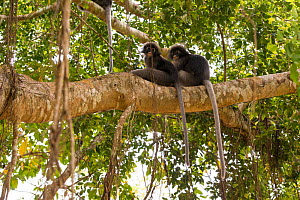 Dusky leaf monkey (Trachypithecus obscurus) two grooming in tree, Thailand  -  Daniel  Heuclin