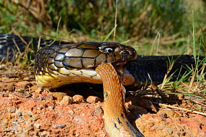 King cobra (Ophiophagus hannah) eating another snake, Thailand. - Daniel  Heuclin