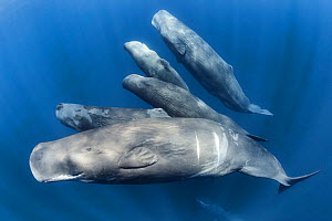 Group of Sperm whales (Physter macrocephalus) family group swimming together, Indian Ocean, March. - Tony Wu