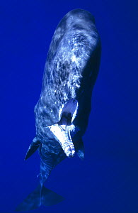 Sperm whale (Physeter macrocephalus) juvenile with fishing line and hook stuck in jaw. The hook had been attached for so long the wound had healed over, Ogasawara, Japan. September. Winner of the Gran...  -  Tony Wu