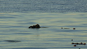 Wide angle shot of a Northern sea otter (Enhydra lutris kenyoni) grooming at the surface, Kachemak Bay, Alaska, USA. - Fred  Olivier