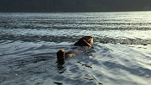 Northern sea otter (Enhydra lutris kenyoni) swimming, floating on its back, Kachemak Bay, Alaska, USA. - Fred  Olivier