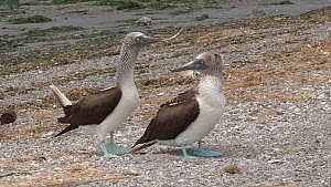 Pair of Blue footed boobies (Sula nebouxii) courting, with the male picking up and offering grass, Isla Lobos de Terra, Peru.  -  Fred  Olivier
