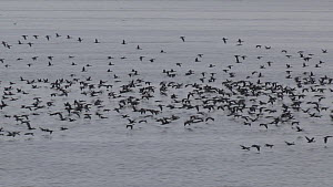 Large flock of Guanay cormorants (Phalacrocorax bougainvilli) flying to feed, Ballestas Islands, Peru. - Fred  Olivier