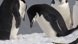 Chinstrap penguin (Pygoscelis antarcticus) adding a stick to its nest and fighting with a neighbouring pair, Aitcho Island, South Shetland Islands.  -  Fred  Olivier