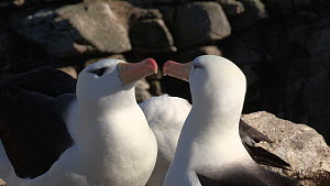 Pair of Black browed albatrosses (Thalassarche melanophris) touching beaks whilst courting, New Island, Falkland Islands.  -  Fred  Olivier