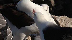 Pair of Black browed albatrosses (Thalassarche melanophris) display bonding, touching beaks, New Island, Falkland Islands. - Fred  Olivier