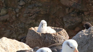 Black browed albatross (Thalassarche melanophris) chick in nest, interacting with a Southern rockhopper penguin (Eudyptes chrysocome) chick, New Island, Falkland Islands. - Fred  Olivier