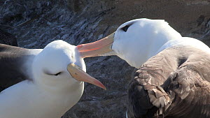 Close-up of a pair of Black browed albatrosses (Thalassarche melanophris) mutual grooming, New Island, Falkland Islands.  -  Fred  Olivier