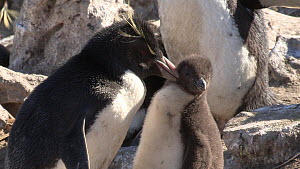 Southern rockhopper penguin (Eudyptes chrysocome) preening chick then itself, New Island, Falkland Islands. - Fred  Olivier