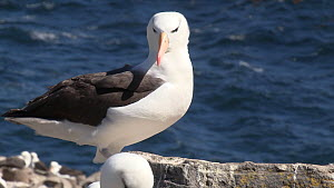 Black browed albatross (Thalassarche melanophris) settling to rest, feathers ruffled by the wind, West Point Island, Falkland Islands. - Fred  Olivier