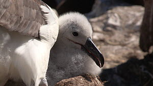 Close-up of a Black browed albatross (Thalassarche melanophris) preening its chick, chick looks up panting, thermoregulating, West Point Island, Falkland Islands.  -  Fred  Olivier