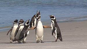 Magellanic penguins (Spheniscus magellanicus) displaying on a beach, Gypsy Cove, Stanley, Falkland Islands. - Fred  Olivier