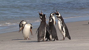 Magellanic penguins (Spheniscus magellanicus) coming ashore, with another group displaying and vocalising on the beach, Gypsy Cove, Stanley, Falkland Islands.  -  Fred  Olivier