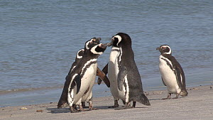 Group of Magellanic penguins (Spheniscus magellanicus) displaying on the shore, Gypsy Cove, Stanley, Falkland Islands.  -  Fred  Olivier