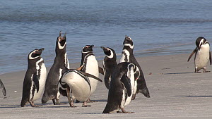 Group of Magellanic penguins (Spheniscus magellanicus) displaying, vocalising and preening on the shore, Gypsy Cove, Stanley, Falkland Islands.  -  Fred  Olivier