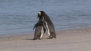 Pair of Magellanic penguins (Spheniscus magellanicus) attempting to mate, Gypsy Cove, Stanley, Falkland Islands.  -  Fred  Olivier