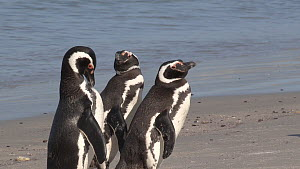 Group of Magellanic penguins (Spheniscus magellanicus) preening on a beach, Gypsy Cove, Stanley, Falkland Islands.  -  Fred  Olivier