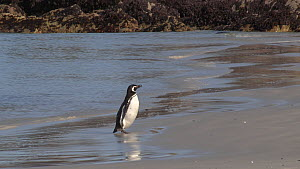 Magellanic penguin (Spheniscus magellanicus) coming ashore and preening, Gypsy Cove, Stanley, Falkland Islands.  -  Fred  Olivier