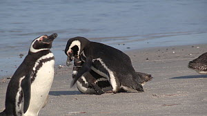 Pair of Magellanic penguins (Spheniscus magellanicus) trying to mate, Gypsy Cove, Stanley, Falkland Islands.  -  Fred  Olivier